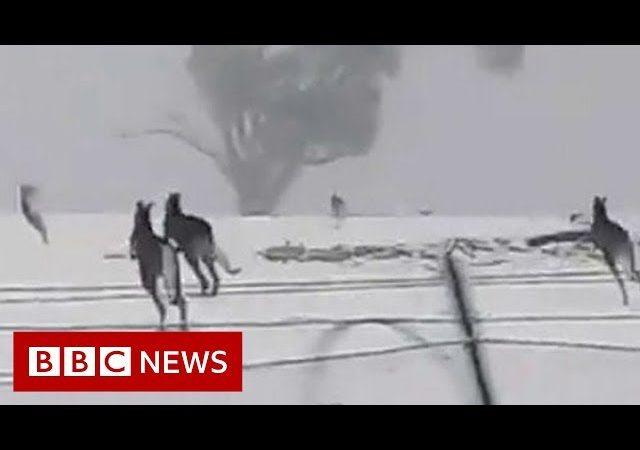 Kangaroos enjoy rare snow in Australia – BBC News